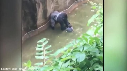 furious-backlash-over-gorilla-shooting