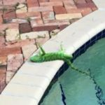 South Florida Frozen iguanas falling from trees